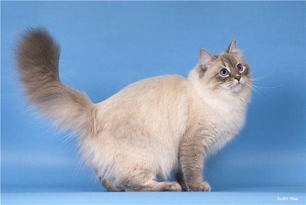 невская маскарадная кошка картинки